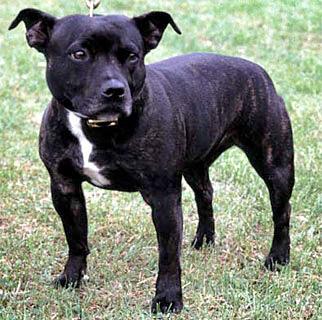Staffordshire Bullterrier Kampfhund