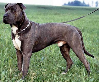 Cane Corso Kampfhund Listenhund